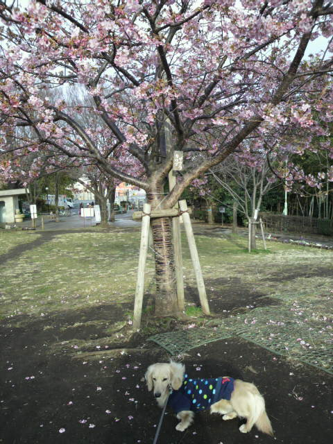 西郷山公園の桜
